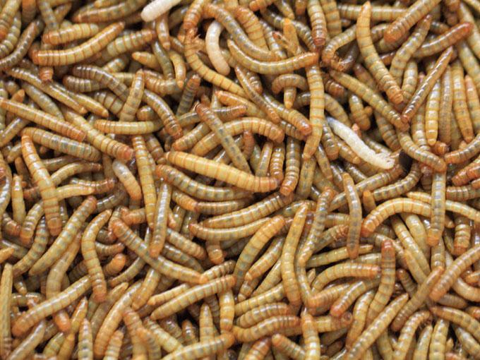 Umweltfreundlicher Fleischersatz: Mehlwürmer statt Rind und Co.