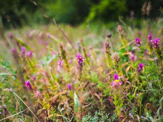 Essbare Wildpflanzen – gesund und nachhaltig